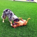 Hi! That's me, Daisy, on my back wrestling with my best friend, Cowboy!