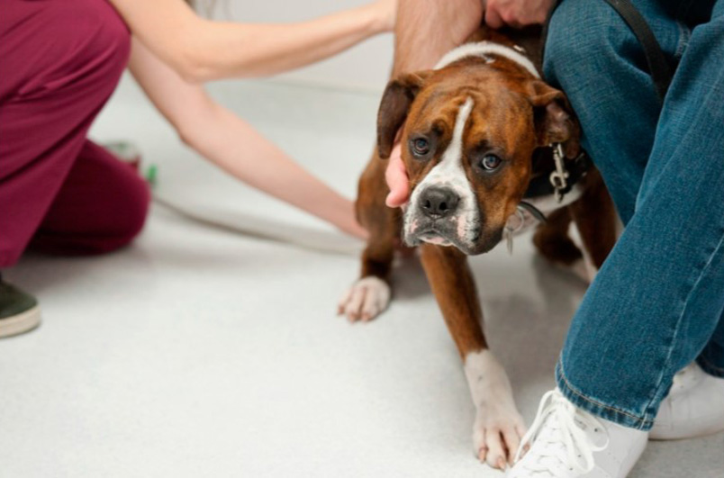 boxer dog being pet