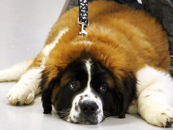 large puppy laying down