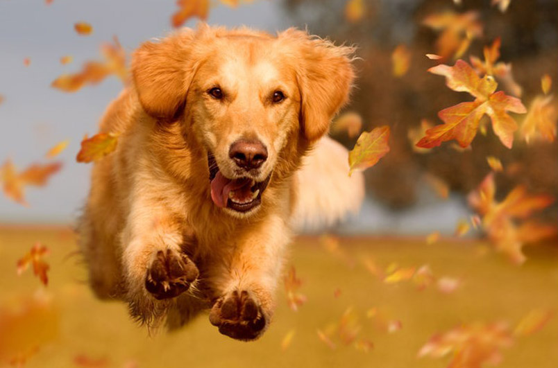 dog leaping thru the leaves