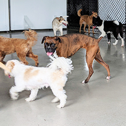 dogs playing at daycare open play area