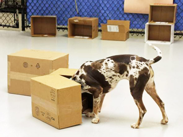 dog sniffing boxes during training