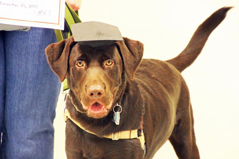 brown dog training