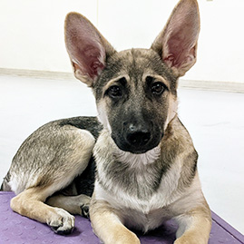 cute puppy with big ears